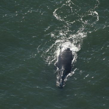 Scientists: Seismic Testing Could Be the End of Right Whales